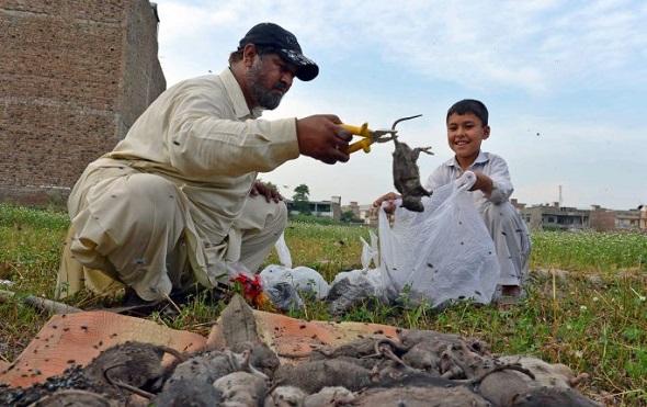 Pakistan'ın Peşaver Kentini Fareler Bastı